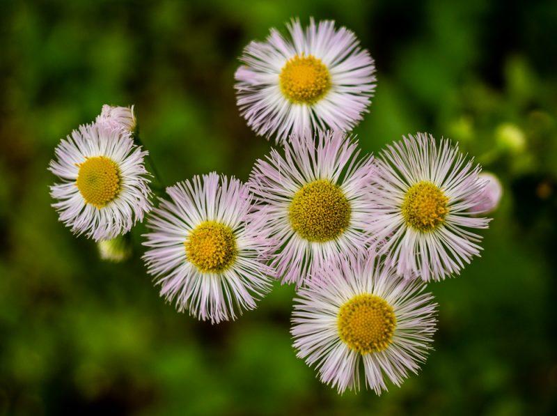 190412 red mountain park wildflower week IMG_9245 s