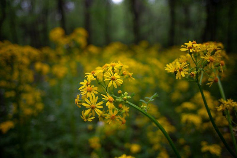 190412 red mountain park wildflower week IMG_9257 s
