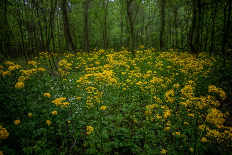 190412 red mountain park wildflower week IMG_9258 s