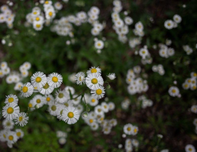 190412 red mountain park wildflower week IMG_9271 s