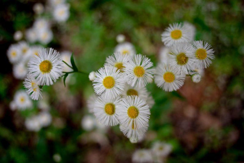190412 red mountain park wildflower week IMG_9279 s