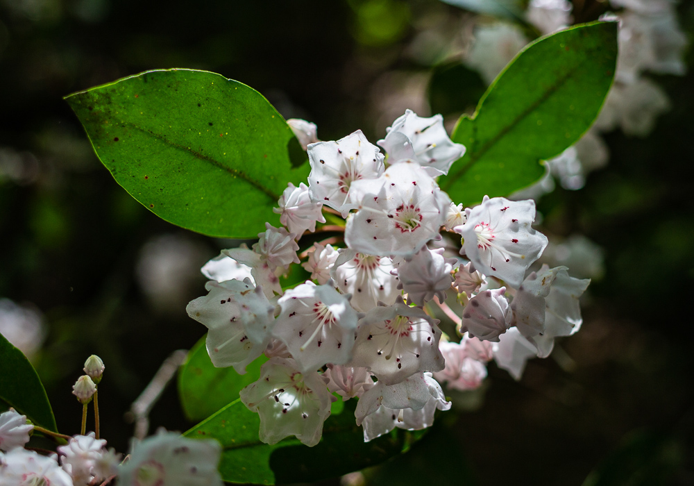 190503 mountain laurel at moss rock preserve IMG_3075 s