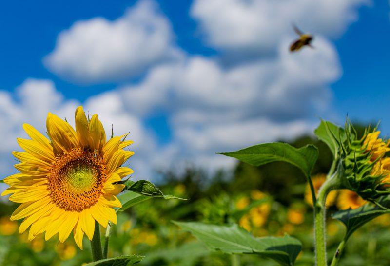 190701 Sunflower Fields IMG_6802s