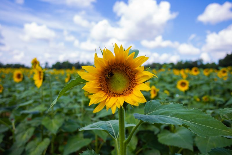 190701 Sunflower Fields IMG_6830s