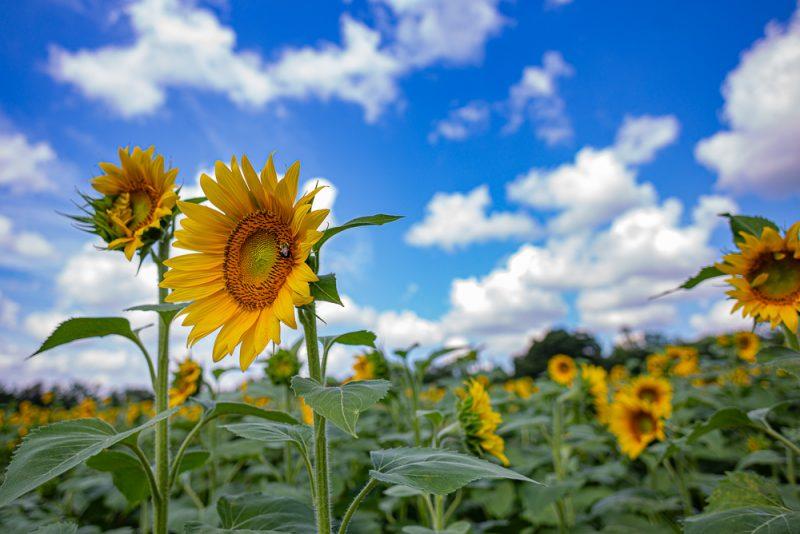 190701 Sunflower Fields IMG_6852s