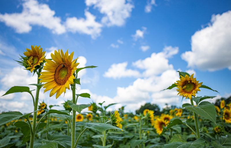 190701 Sunflower Fields IMG_6869s