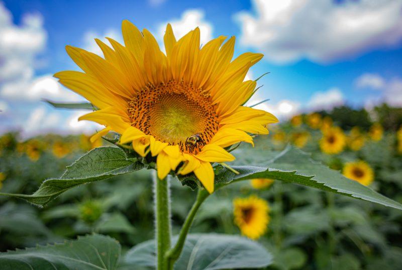 190701 Sunflower Fields IMG_6920s