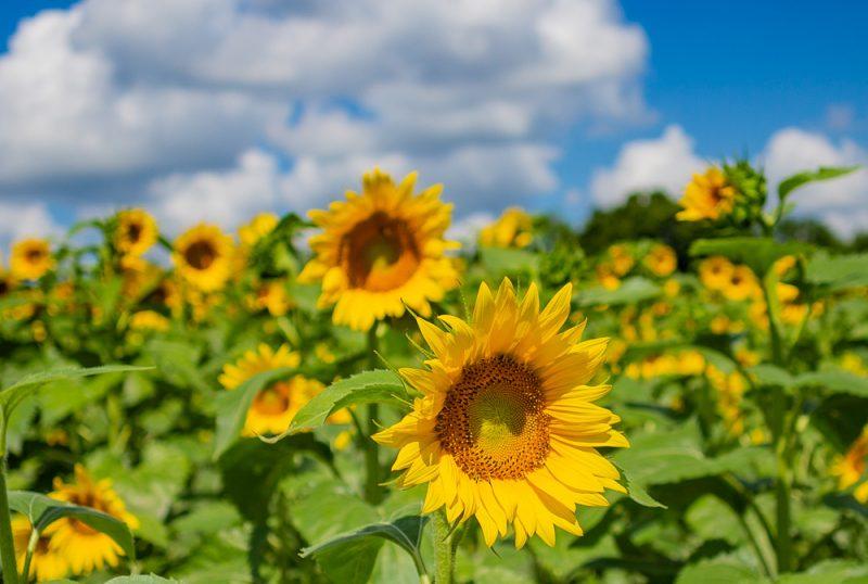 190701 Sunflower Fields IMG_6929s