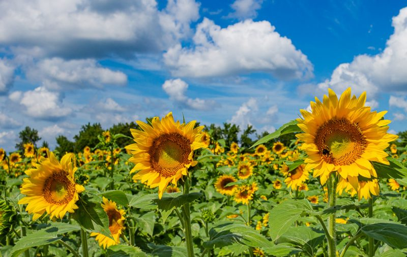 190701 Sunflower Fields IMG_6950s