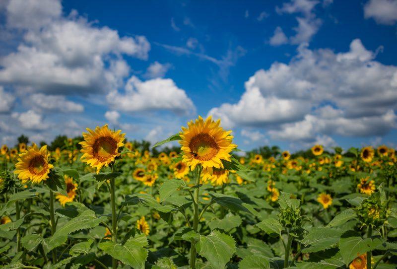 190701 Sunflower Fields IMG_6958s