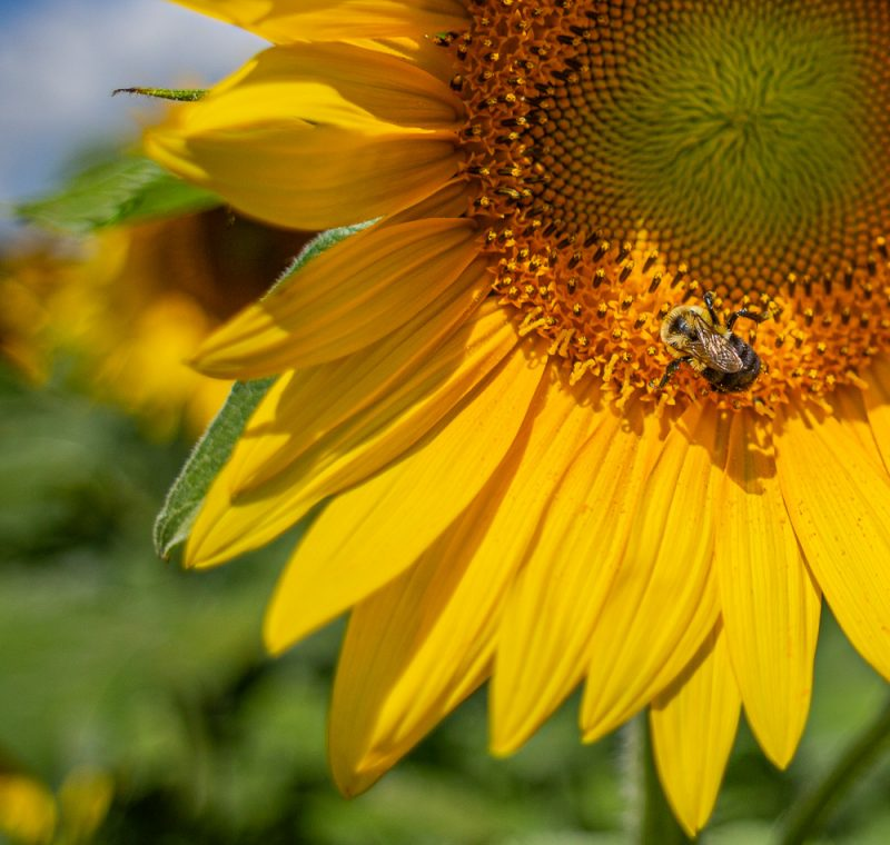 190701 Sunflower Fields IMG_6974s