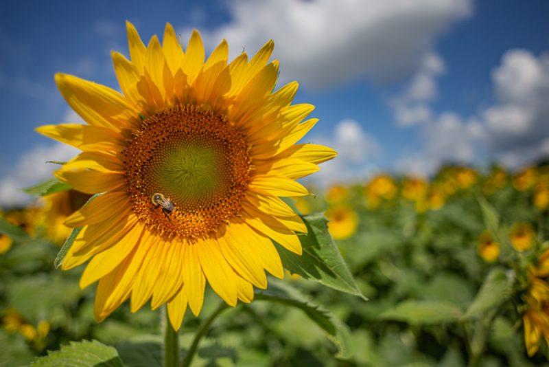 190701 Sunflower Fields IMG_6980s