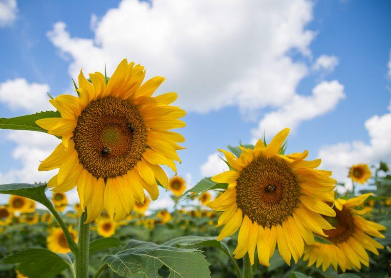 190701 Sunflower Fields IMG_7008s