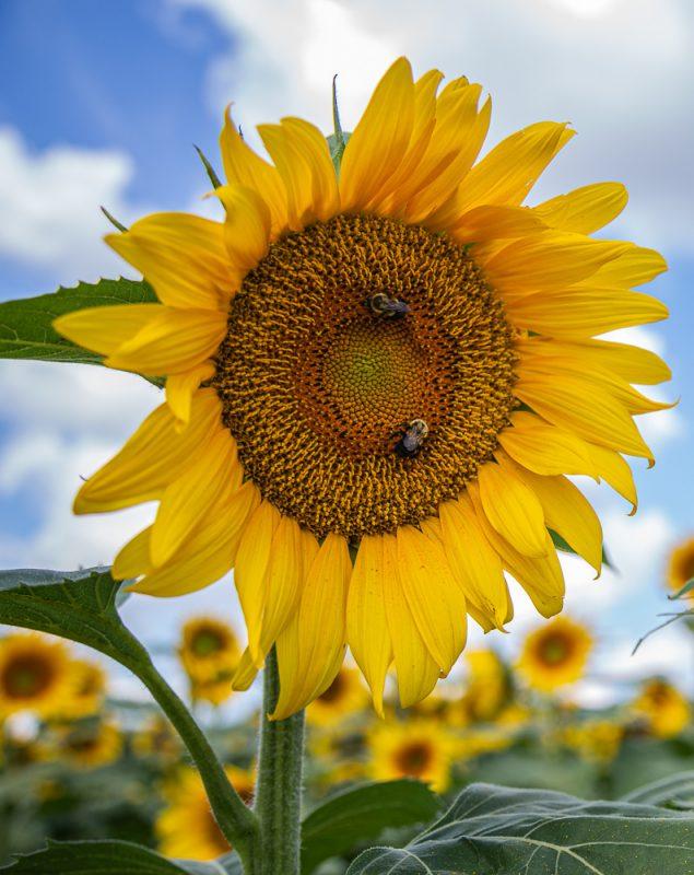 190701 Sunflower Fields IMG_7013s