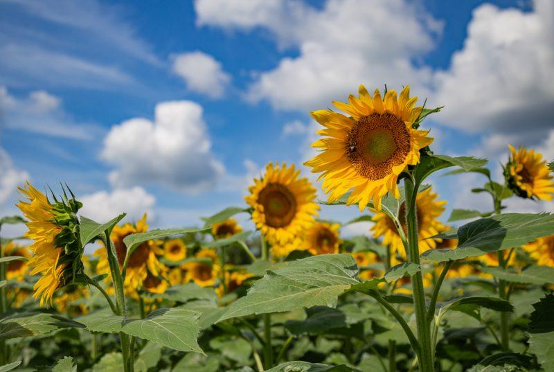 190701 Sunflower Fields IMG_7032s