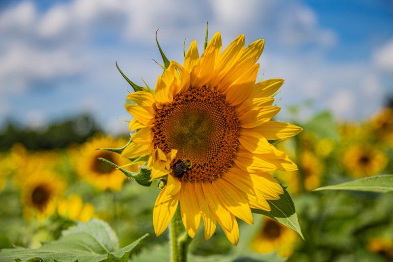 190701 Sunflower Fields IMG_7049s