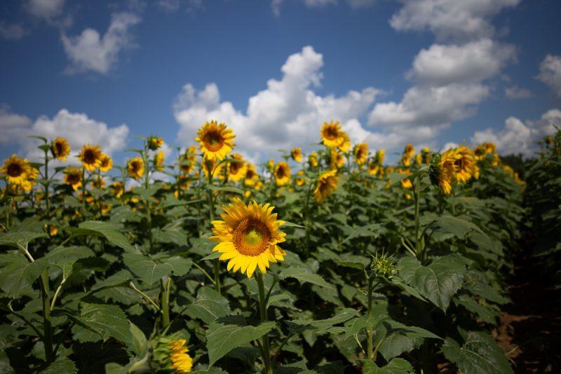 190701 Sunflower Fields IMG_7073s