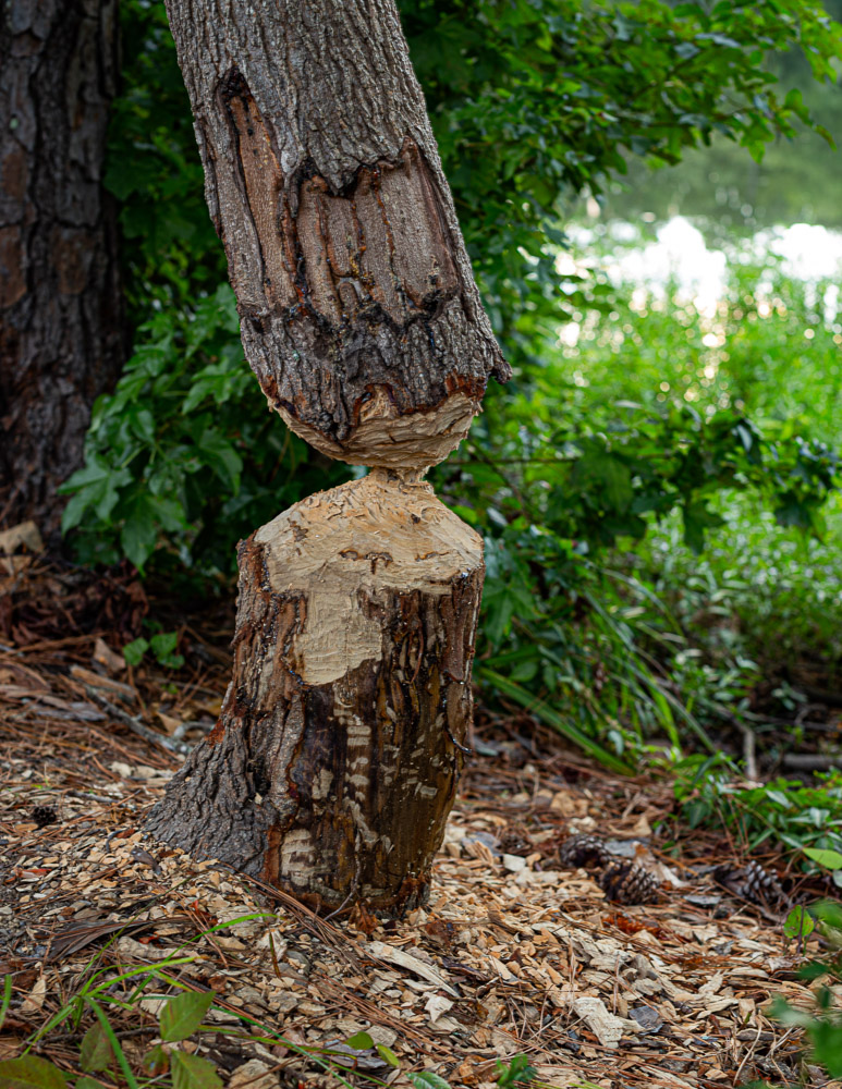 190814 Beaver Dinner oak mountain IMG_2129s