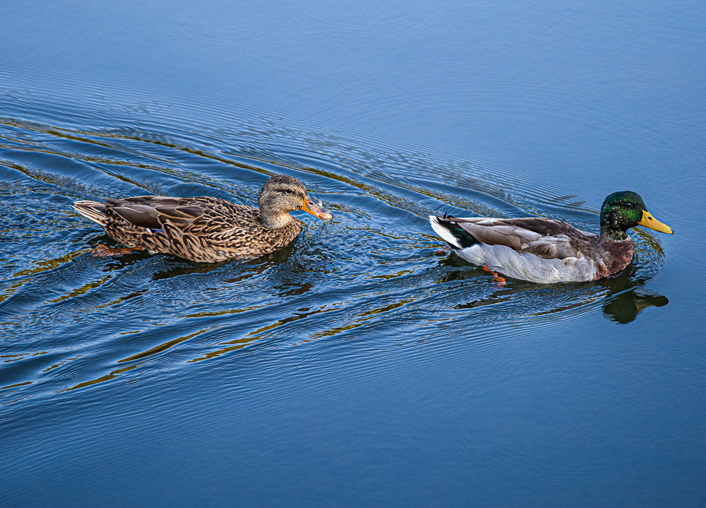 191001-ducks-of-oak-mountain-IMG_6258 S