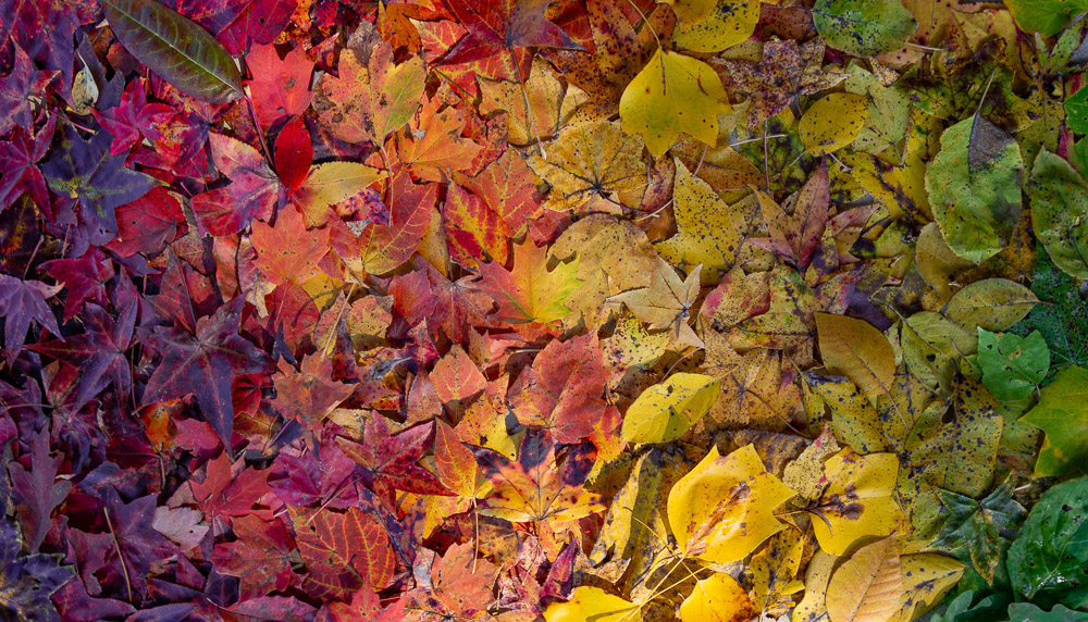 191103 Mega Ombre Oak Mountain Fall Leaves IMG_0182 S