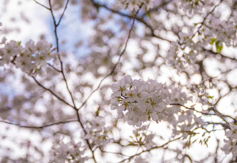 200321 blossoms on a quarantine walk 2M7A6233 s
