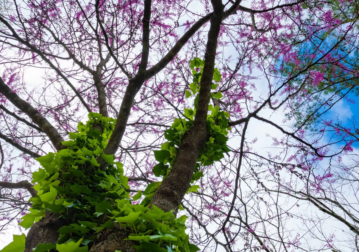 200321 blossoms on a quarantine walk 2M7A6246s