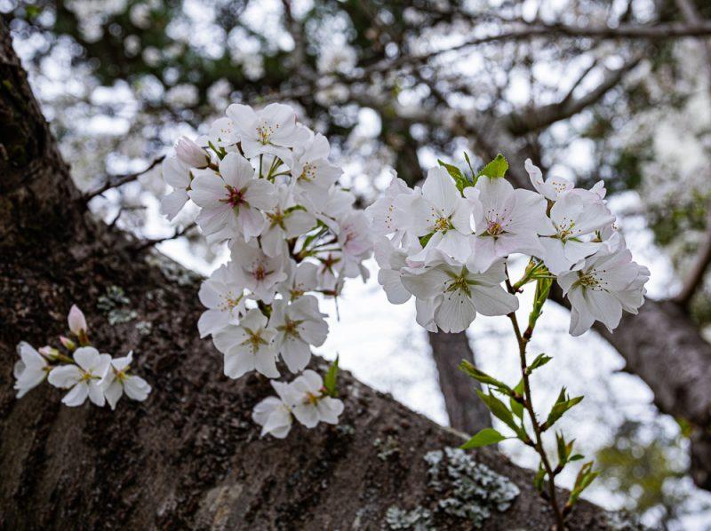 200321 blossoms on a quarantine walk 2M7A6298 s