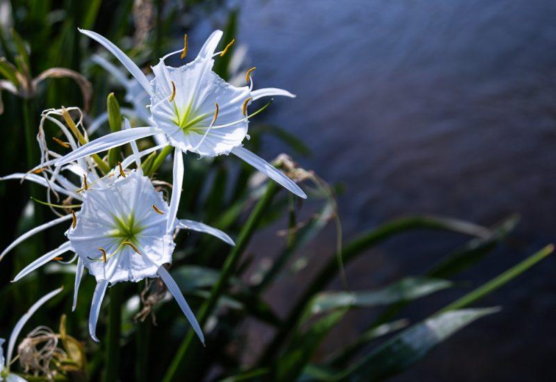 200602 Cahaba Lilies at Cahaba River NWR IMG_5417 s