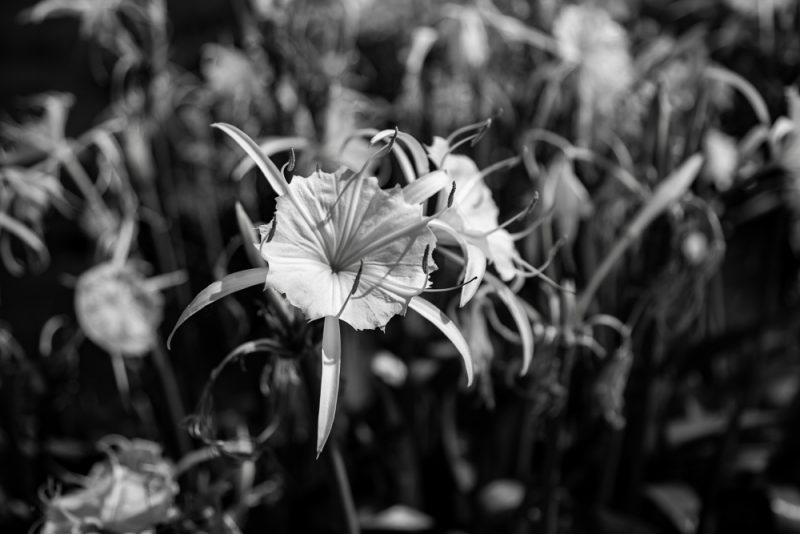 200602 Cahaba Lilies at Cahaba River NWR IMG_5465 s