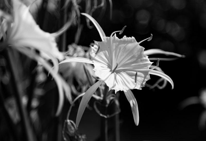 200602 Cahaba Lilies at Cahaba River NWR IMG_5474 s