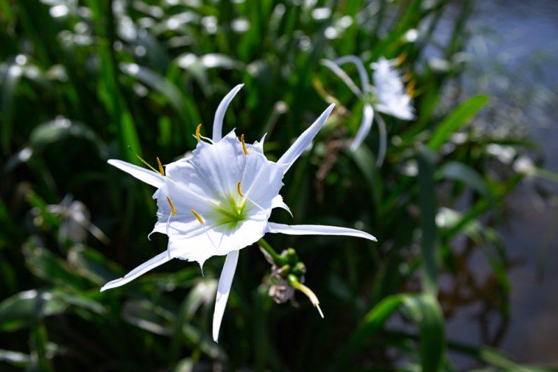 200602 Cahaba Lilies at Cahaba River NWR IMG_5499 s