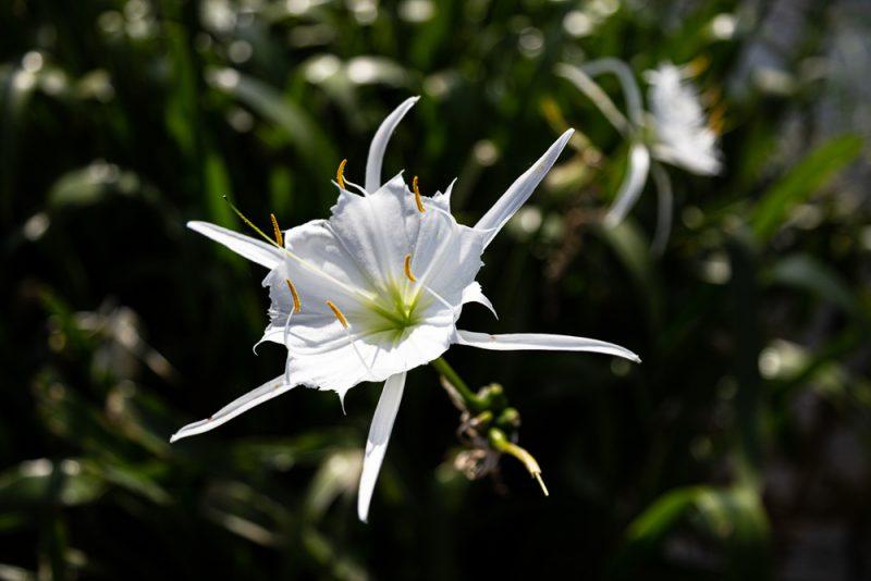 200602 Cahaba Lilies at Cahaba River NWR IMG_5507 s