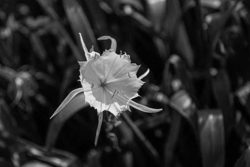 200602 Cahaba Lilies at Cahaba River NWR IMG_5543 s