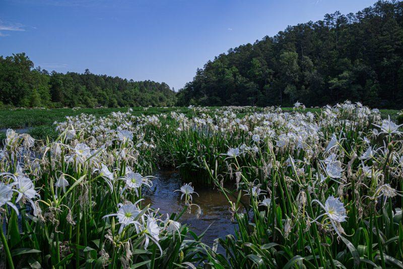 200602 Cahaba Lilies at Cahaba River NWR IMG_5578 s