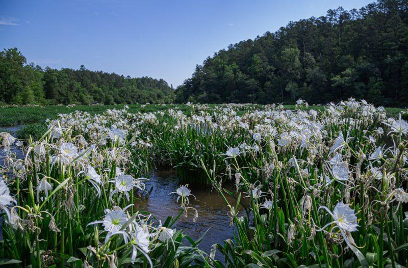 200602 Cahaba Lilies at Cahaba River NWR IMG_5587 s