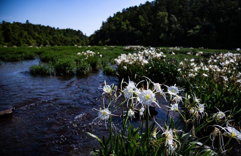 200602 Cahaba Lilies at Cahaba River NWR IMG_5623 s