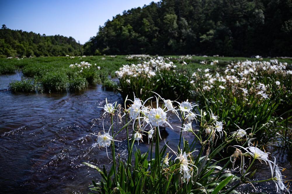 200602 Cahaba Lilies at Cahaba River NWR IMG_5629 s